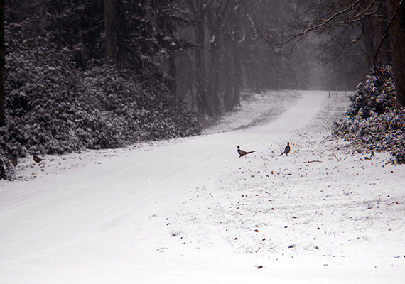 Two pheasants stand in snow